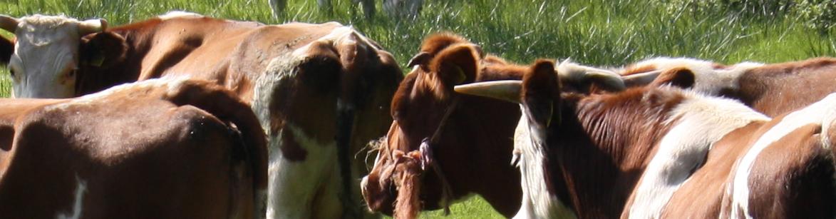 koeien (2)